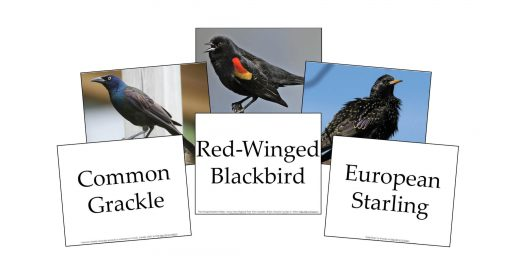Birds Flashcards